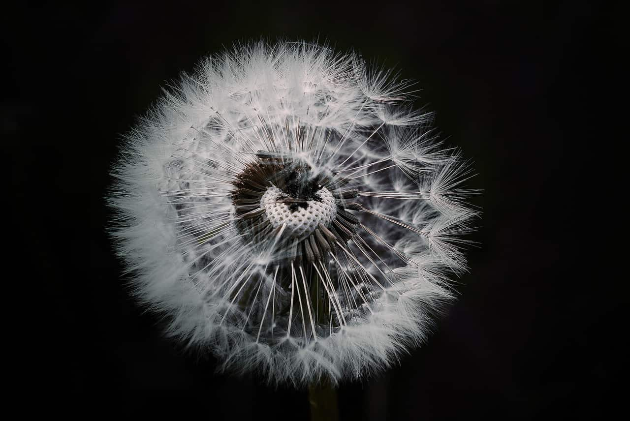 Image of a dandelion representing the highly sensitive person