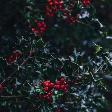 Image of a Christmas holly bush