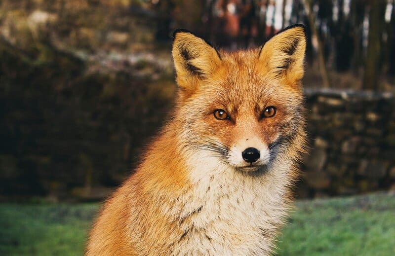 Image of a fox totem animal