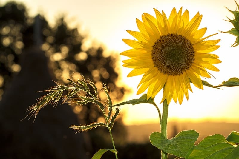 Image of a yellow sunflower symbolic of the authentic self
