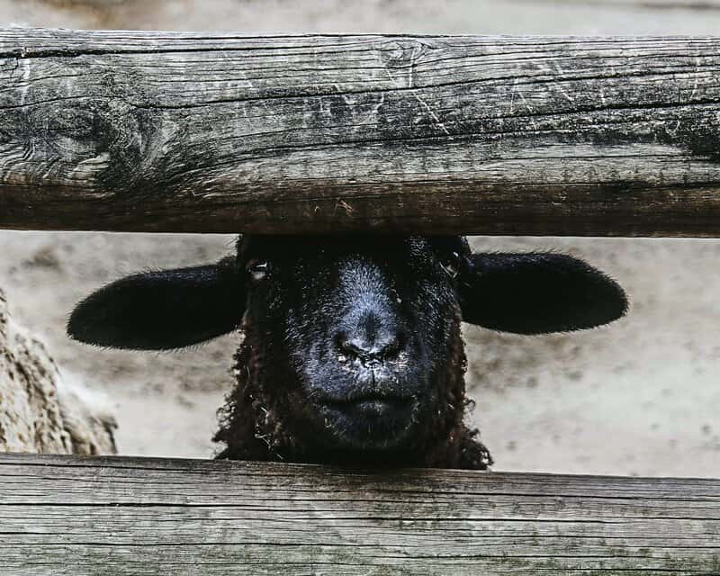 Image of a black sheep of the family