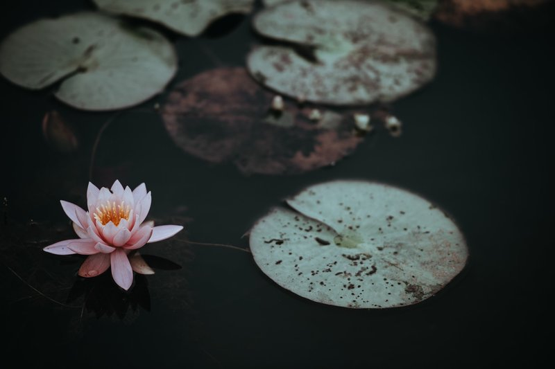 Image of a lotus blossom that represents inner peace