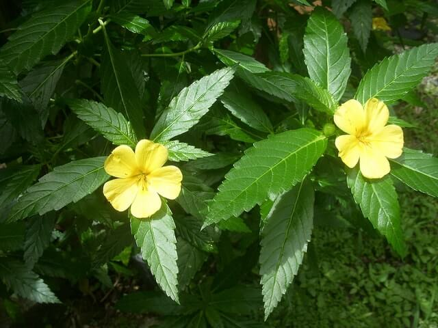 Damiana Picture