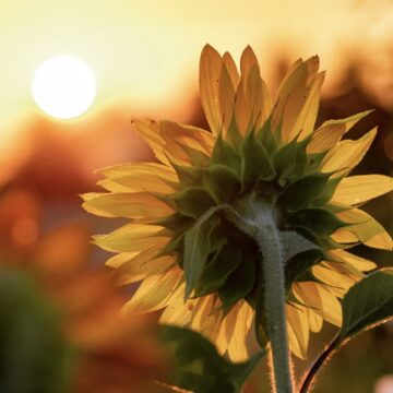 Image of a sunflower facing the sun representing hope