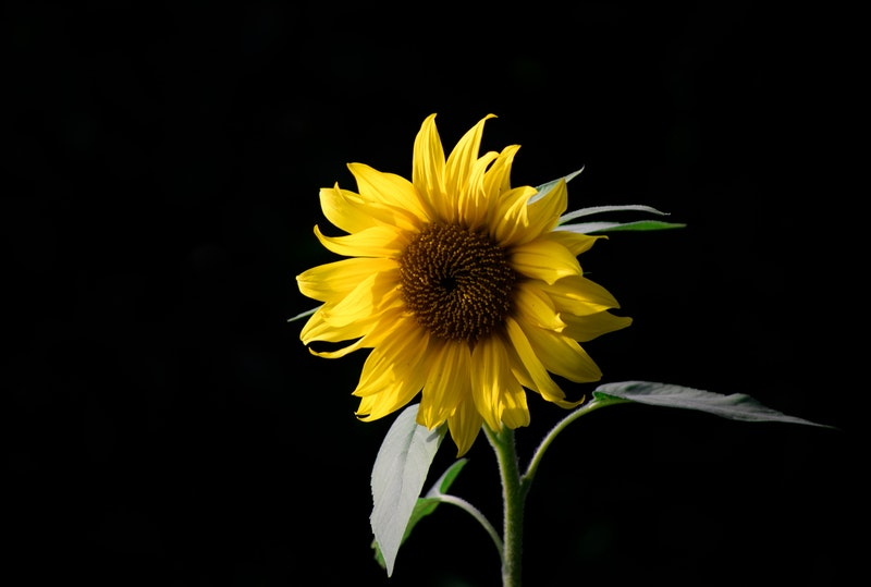Image of a sunflower on a black background symbolic of when life sucks and you want to feel better