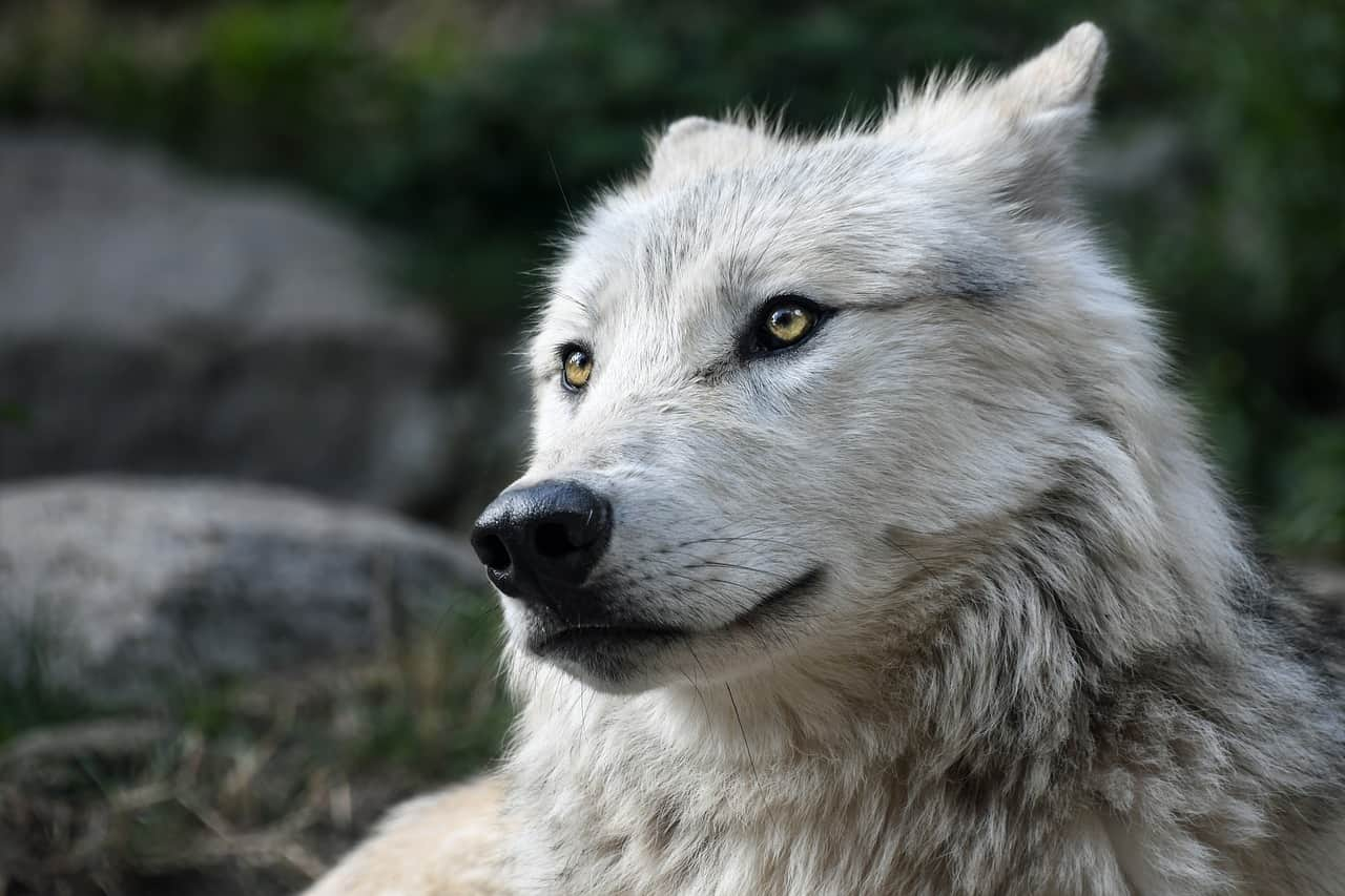 Image of a wolf omen