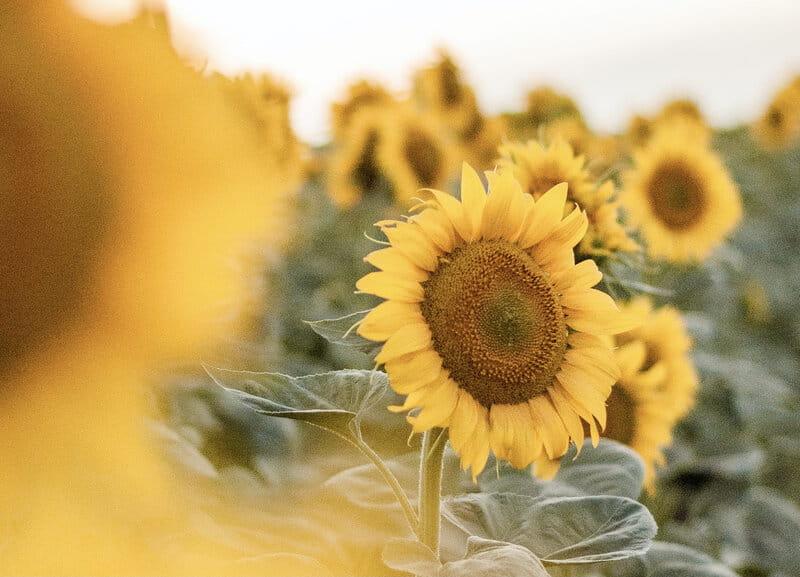 Image of a beautiful yellow sunflower