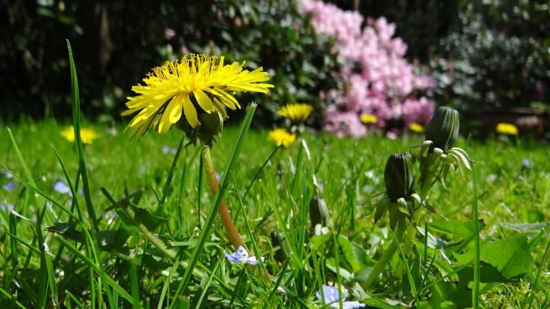 Dandelion Herbal Cleanse image