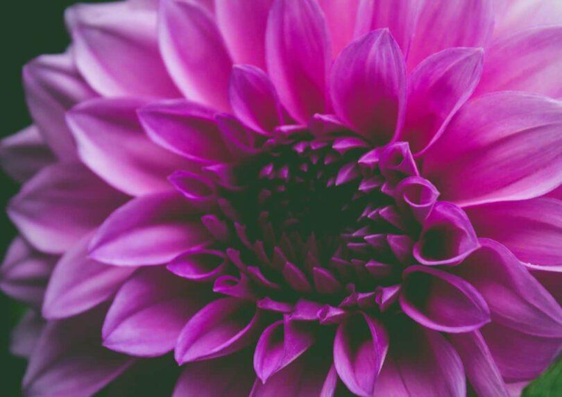 Image of a violet flower