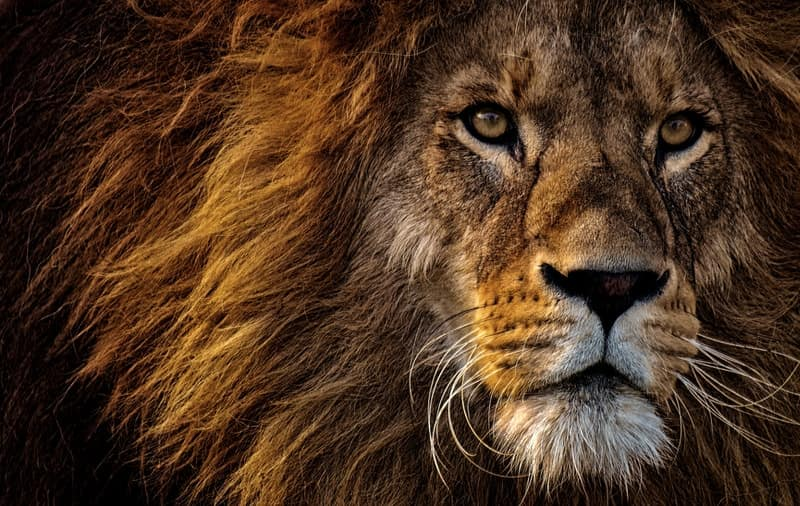 Image of a wild lion symbolic of the divine masculine