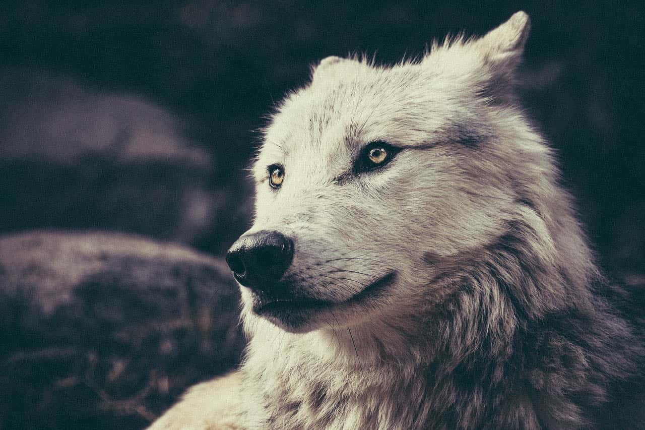 Image of a white lone wolf