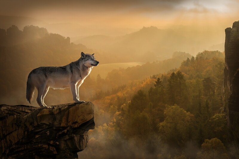 Image of a lone wolf standing on a cliff face