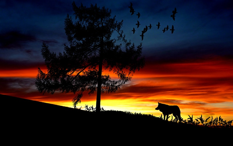 Image of a lone wolf at sunset