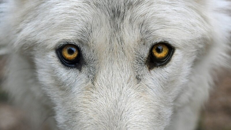 Image of a white wolf's eyes