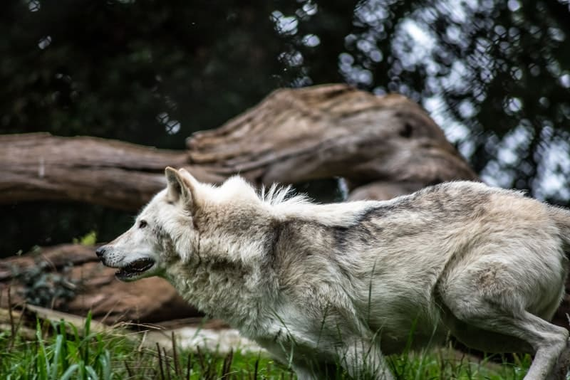Image of a wolf symbolic of primal instincts