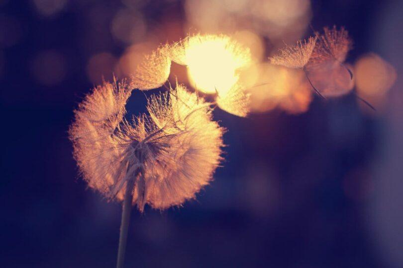Image of a dandelion representing sensitivity and emotional regulation