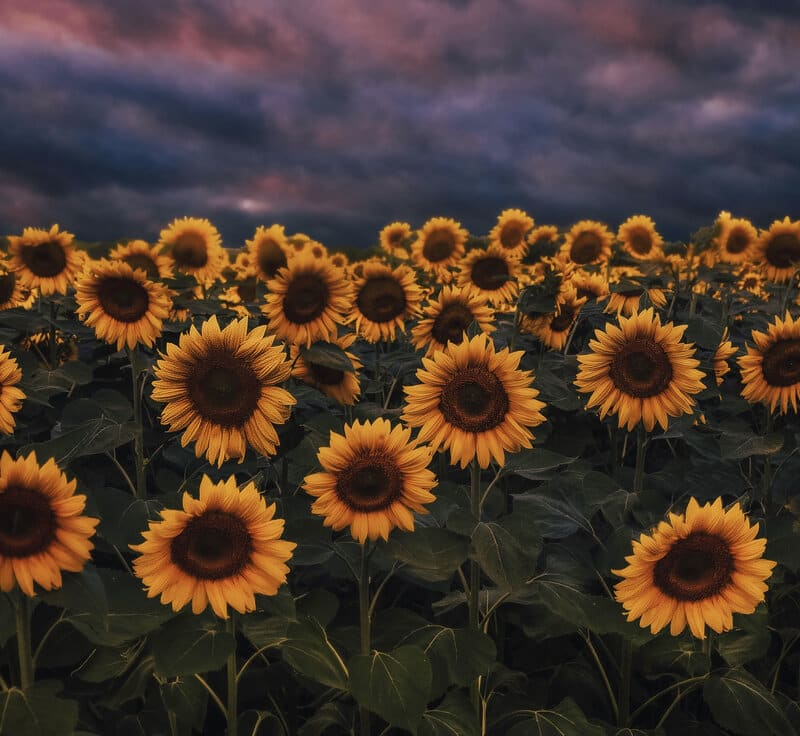 Image of a field of sunflowers symbolic of good vibes only culture