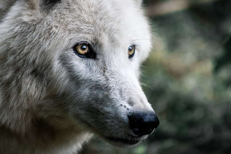 Image of a white wolf with golden eyes