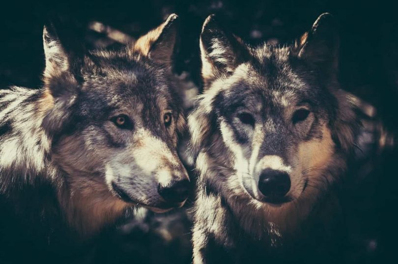 Inside you there are two wolves image