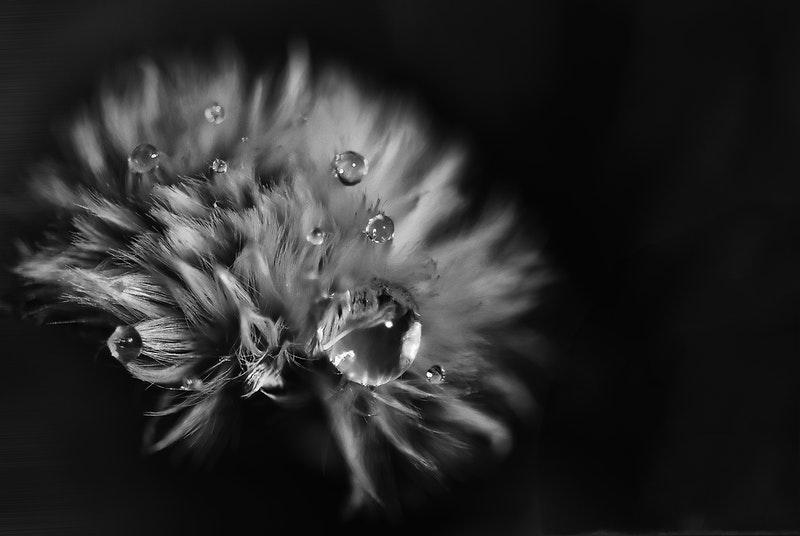 Image of a dandelion