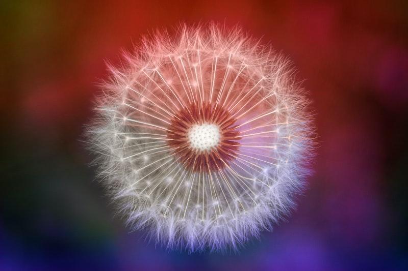 Image of a dandelion that symbolizes wholeness