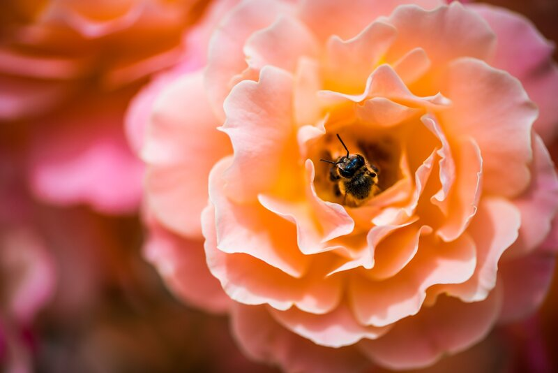 Image of a peach pink flower